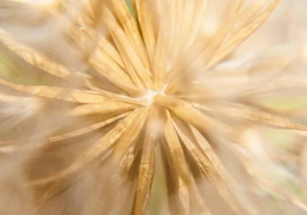 Pissenlit la plante Detox